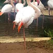 02.flamingok.2